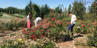 Cel mai mare rozariu din sud-estul Europei. Cate mii de soiuri de trandafiri cresc in cel mai parfumat parc