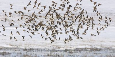 VIDEO Petitie pentru salvarea ciocarliei. Ornitologii avertizeaza ca parlamentarii au votat macelarirea pasarilor cantatoare