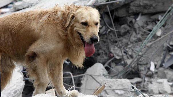 UCIS DE EPUIZARE. Cazul lui Dayko, labradorul care Si-A DAT VIATA pentru a salva VICTIMELE DIN ECUADOR l Foto cu ULTIMELE MOMENTE