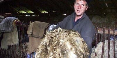 Cum au ajuns ciobanii romani sa arunce tone intregi de lana de oaie: