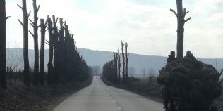 FOTO Sute de plopi de pe un drum judetean din Iasi, slutiti cu drujba de muncitorii de la Spatii Verzi