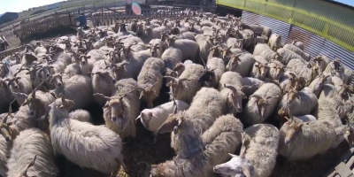 Afacerea de succes a fermierului care creste oi cu coarne in forma de tirbuson:
