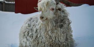 Doi romani, arestati la Berlin pentru ca au ucis o capra de Angora care urma sa fete trei iezi la o gradina zoologica